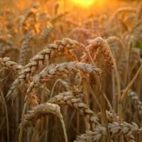 Достигле зерно