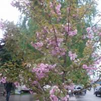 Цвітіння сакури 2015 рік