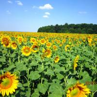 Наші квітучі поля