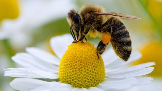 Як діяти пасічнику, якщо сталося отруєння бджіл