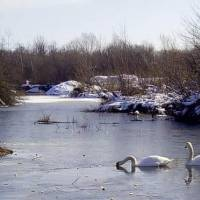 Прилетіли лебеді (зима 2018)