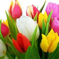 Beautiful-Tulpes-Flowers-Wallpaper