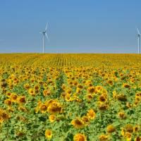 Жовті поля соняшників під блакитним небом