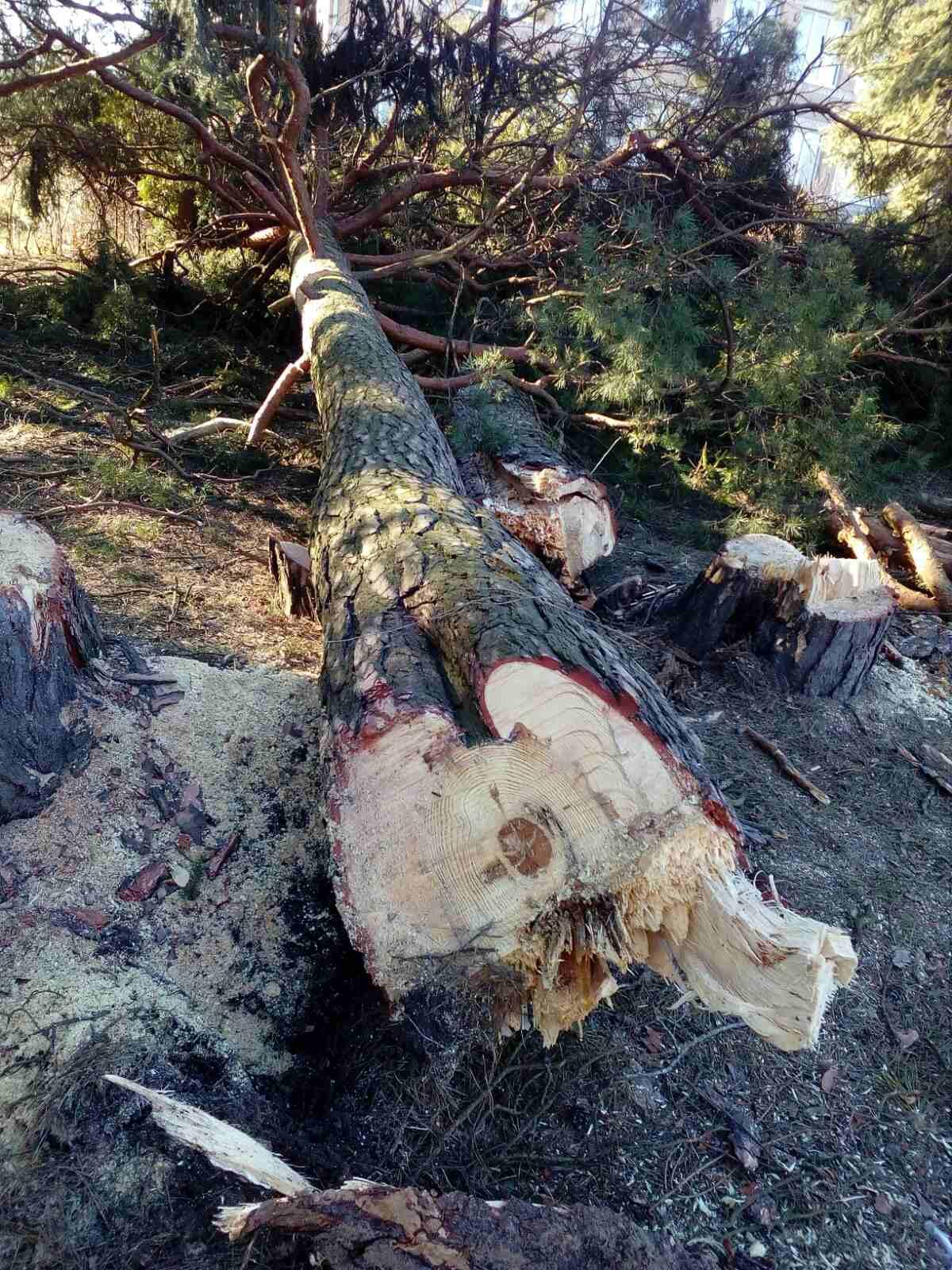 В селі Вербень зрізано аварійні дерева