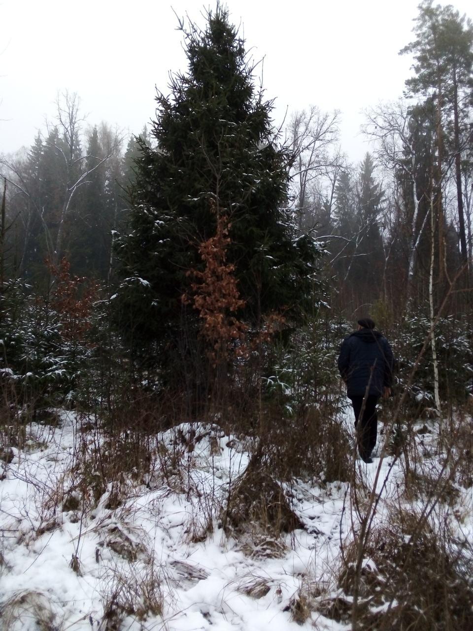 Вибрали новорічну красуню для Ямполя. Вона простоїть ще у лісі до 17 грудня.