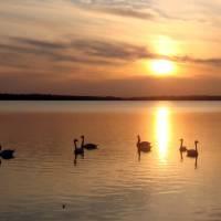 Лебеді на Борсуківському ставу
