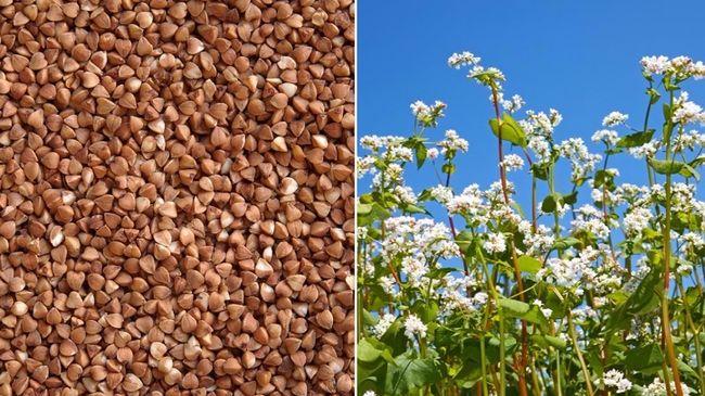 Як отримати бюджетну субсидію сільськогосподарським товаровиробникам, які вирощували гречку?