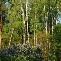 Ліс, с. Карильське