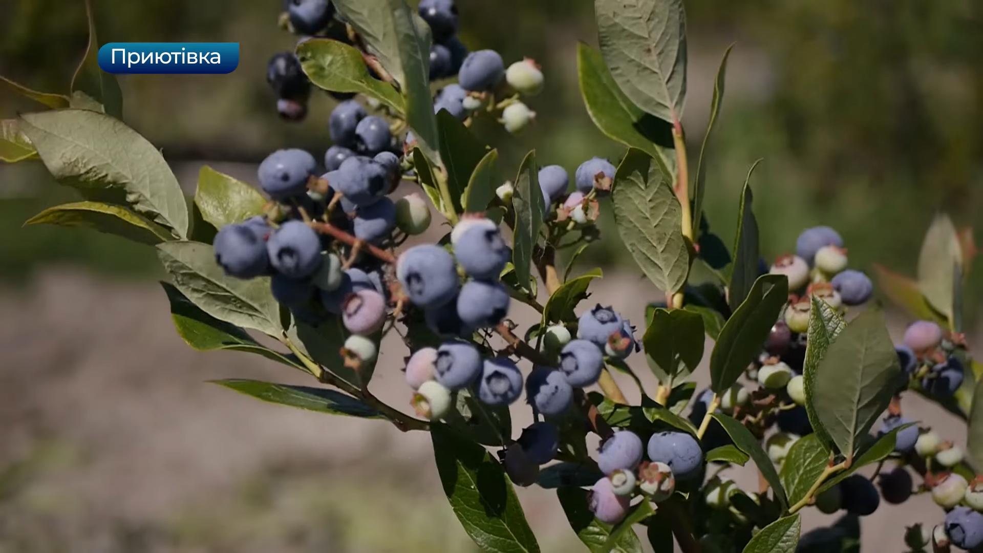 Телеканал Вітер: врожай лохини вже другий рік поспіль збирають у Приютівці