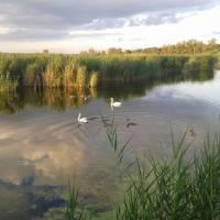 У нас на ставку живуть лебеді