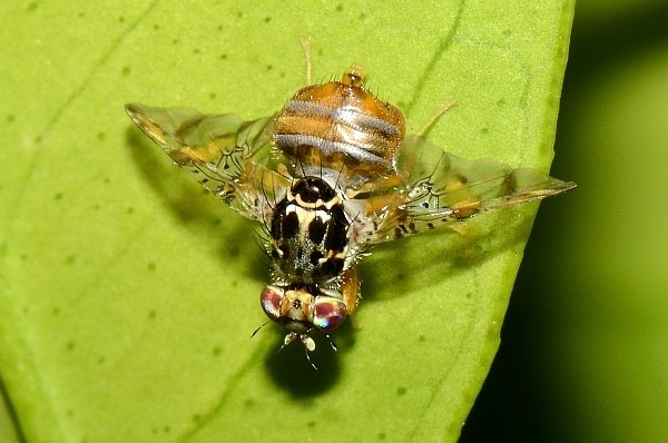 Середземноморська плодова муха