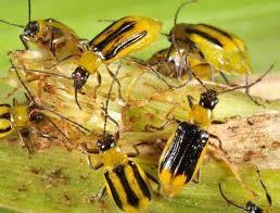 Західний кукурудзяний жук