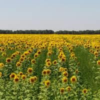 Соняшникове поле. Фото Швачко Д.І.