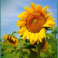 Посмішка сонця. Фото Швачко Д.І.