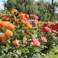 Троянди в центрі Піщанської громади