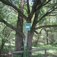 Дерева-сестри