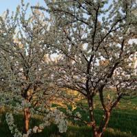 Починок Оксана, с. Сорокотяга. Грає сонце промінцями в саду вишневому...